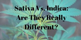 Do Sativa and Indica Strains Really Have Different Effects?